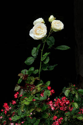 Photograph - White Rose Uprising by Bonnie Follett