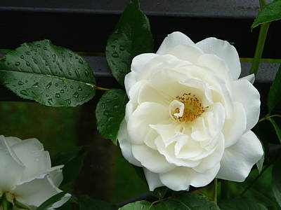Photograph - White Rose by Valerie Ornstein