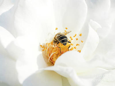 Photograph - Looking For Gold In A White Rose by Mariella Wassing