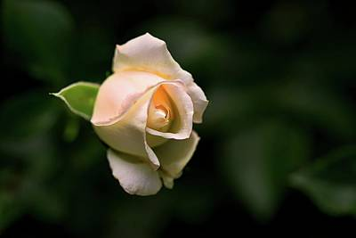 Photograph - White Rosebud by Richard Gregurich