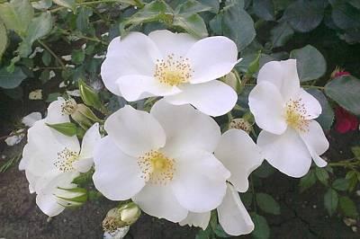 White Roses Bloom Art Print