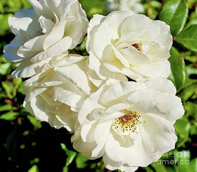 Photograph - White Roses by Cassandra Buckley