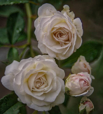 Photograph - White Roses by Jane Luxton
