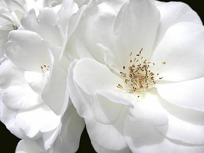 White Roses Macro Art Print by Jennie Marie Schell