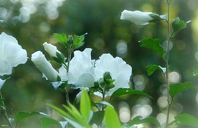 Althea Photograph - White Roses Of Sharon by Molly Dean