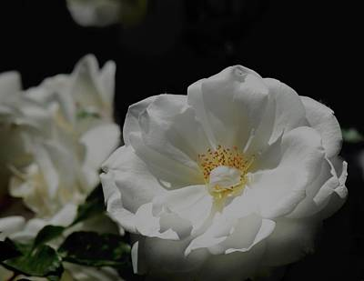 Photograph - White Roses On Black by Lynda Anne Williams