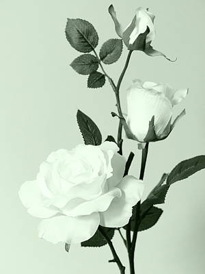 Photograph - White Roses by Tom Druin