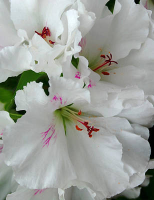 Photograph - White Ruffles by Marilynne Bull