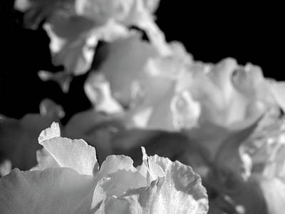 Photograph - White Ruffles by Rod Stewart
