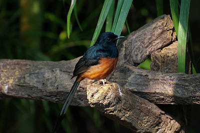Photograph - White-rumped Shama by Chris Flees