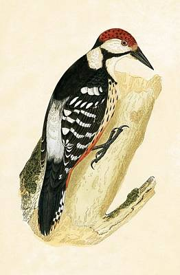 Ornithology Drawing - White Rumped Woodpecker by English School