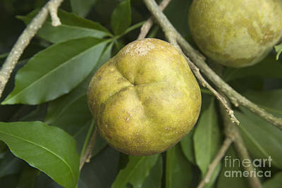 Hawaiian Flora Photograph - White Sapote Fruit by Inga Spence