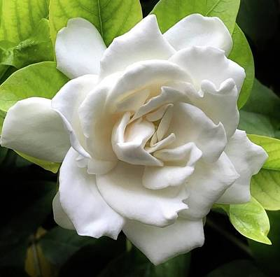 Photograph - White Satin Gardenia by Bruce Bley