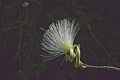 Digital Art - White Shaving Brush Pseudobombax Flower by Gene Norris