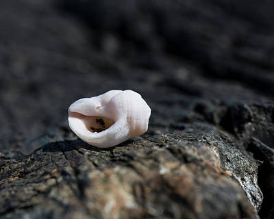 Photograph - White Shell by Brian Stricker