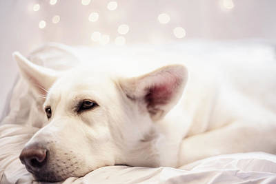 Photograph - White Shepherd by Amber Kresge