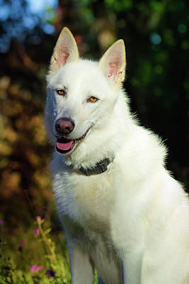 Photograph - White Shepherd In The Sunlight by Tyra OBryant