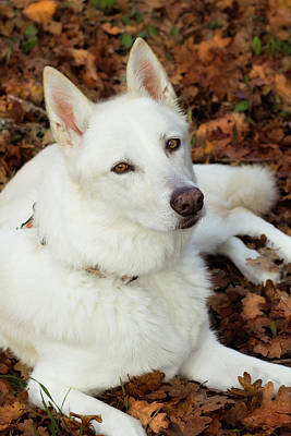Photograph - White Shepherd Mix In Autumn Leaves by Tyra OBryant