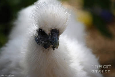 Photograph - White Silkie by Susan Herber