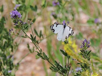 Photograph - White-skipper On Lupine by Gaelyn Olmsted