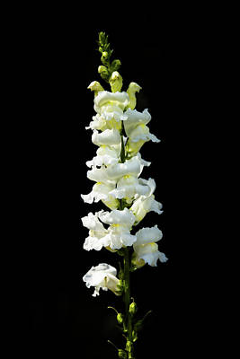 Garden Photograph - White Snapdragon by Zina Stromberg