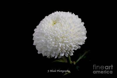 Photograph - White Snowball by Jeannie Rhode