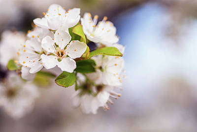 Photograph - White Spring Flowers With Shallow Dof by Vishwanath Bhat
