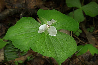 Photograph - White Spring Trillium by Mike Eingle