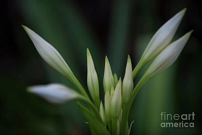 Photograph - White Sprouts by Dale Powell
