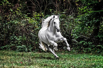 Photograph - White Stallion by Wes and Dotty Weber