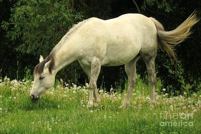Photograph - White Stallion by Frank Townsley