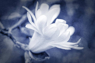 Photograph - White Star Magnolia Blossom Blue by Jennie Marie Schell