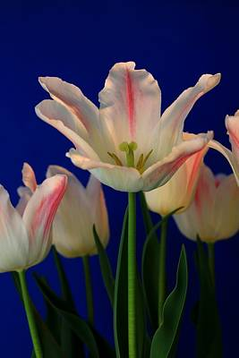 Tulip Mania Photograph - Albion Star Tulip by Rusalka Koroleva