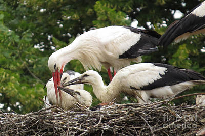 Photograph - White Stork Family by Frank Townsley
