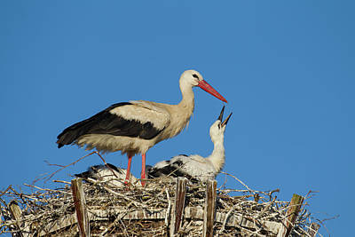 Photograph - White Stork With Chick by Arterra Picture Library