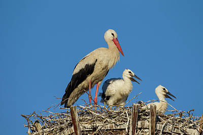 Photograph - White Stork With Chicks by Arterra Picture Library