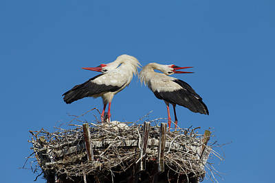 Photograph - White Storks Displaying by Arterra Picture Library