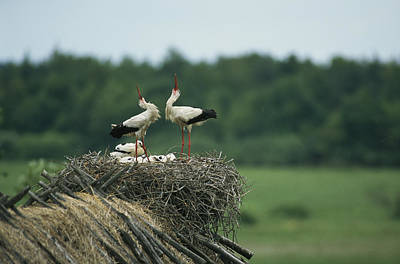 White Storks Displaying In Their Nest Art Print by Klaus Nigge