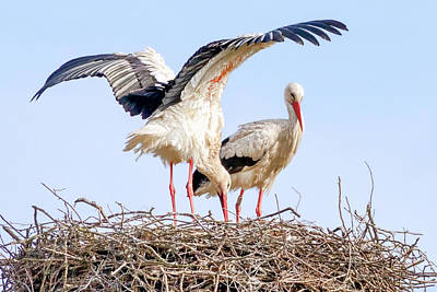 Photograph - White Storks by Nadia Sanowar