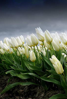 White Stormy Tulips Art Print by Karla DeCamp