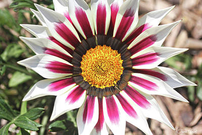 Photograph - White Striped Gazania by Trina Ansel