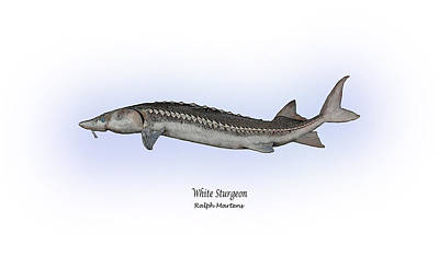 White Sturgeon Art Print by Ralph Martens