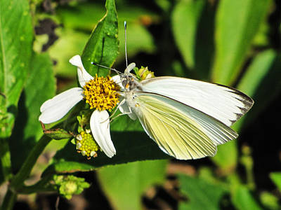 Photograph - White Sulphur Butterfly by Chris Mercer