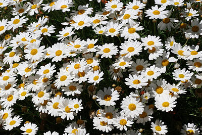 White Summer Daisies Art Print by Christine Till