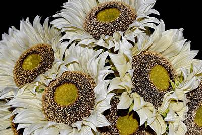 Photograph - White Sunflowers 2 by Jeannie Rhode