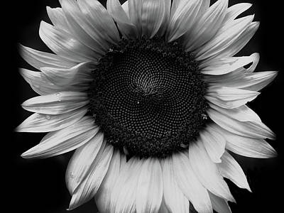 Travel Rights Managed Images - White Sunflower Royalty-Free Image by Tina M Wenger