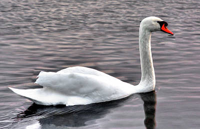 Photograph - White Swan by Alex Galkin