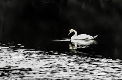 Photograph - White Swan by Beverly Cazzell