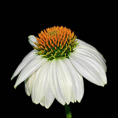 Photograph - White Swan Coneflower 003 by George Bostian