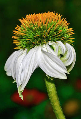 Photograph - White Swan Coneflower 004 by George Bostian